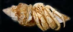 Investigadores da Uvigo e do IEO descobren un novo cangrexo ermitaño
