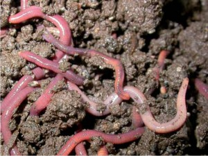 gusanos-nutrientes-ecologico