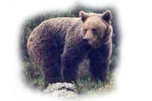 oso-animal