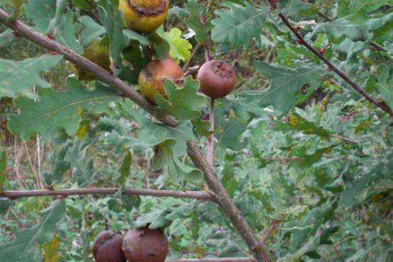 cocas-de-carballo