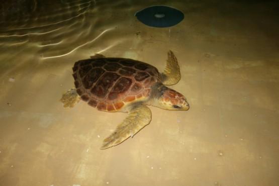Tartaruga Antares